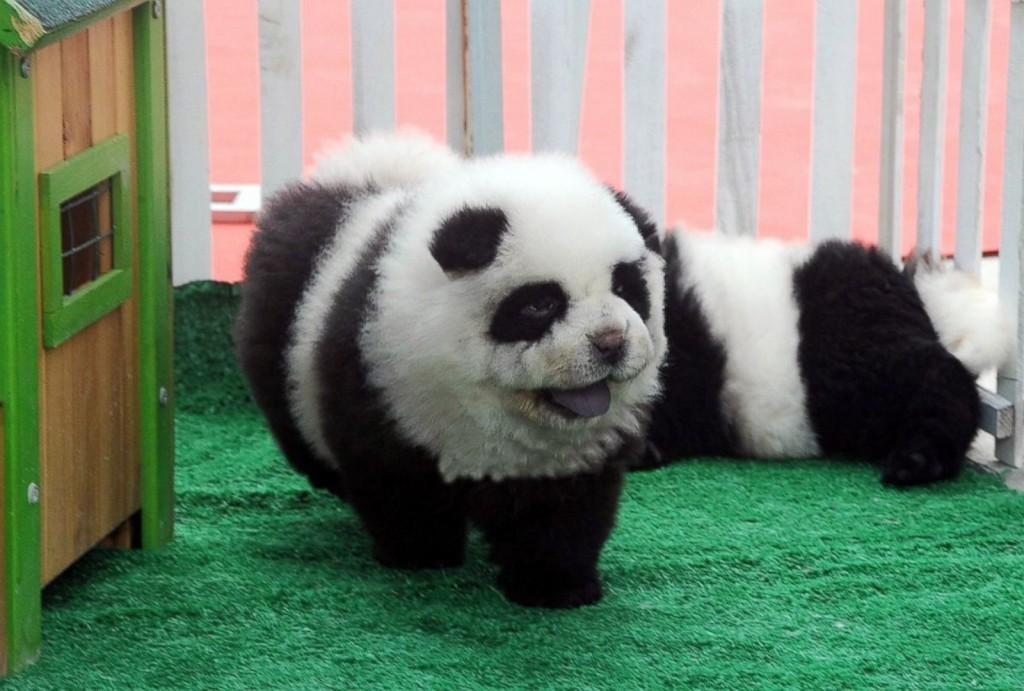 panda-puppies-china